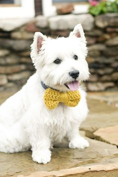 Westie in a crochet bow tie. Because why not?
