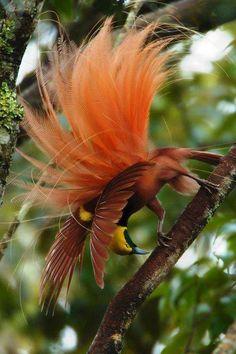 Aves del Paraiso -Nueva Guinea- Inspiration MONIC. Bird of Paradise
