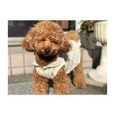 . . . 外が眩しくて、おめめが…(笑)😆☀️ . . #coto #family #愛犬 #pet #love #トイプードル #成長記録 #camera #cute #犬バカ部 #dog #smile #happy #だいすき #poodle #good #picture #お気に入り #かわいい #ラインスタンプ #写真撮ってる人と繋がりたい #カメラ女子 #カメラ好きな人と繋がりたい #カメラ #iPhoneX