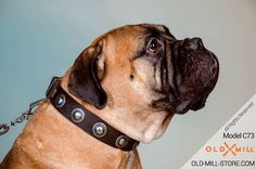 Leather Dog Collar-Plated Conchos for Bullmastiff Breed
