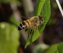 Bee, Mellifera, Nature, Insects, Apis