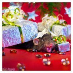 Cute Photographs Of Rats