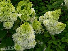 Panicle Hydrangeas: 3 No-fail Choices for Reliable Blooms (Hydrangea paniculata)