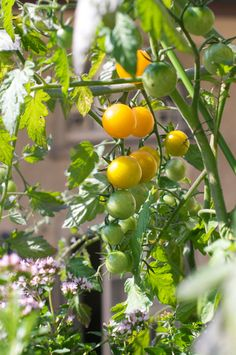 Growing cherry tomatoes on the balcony