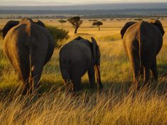 "Elephants in Kenya...""Elephant Family"""