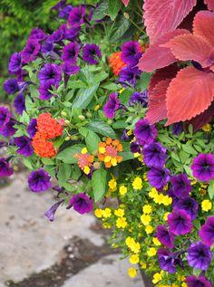 The Little Stonehouse Garden - Lantana 'Evita Red', Petunia 'Littletunia Purple Blue', yellow Mercardonia and Coleus 'Redhead'