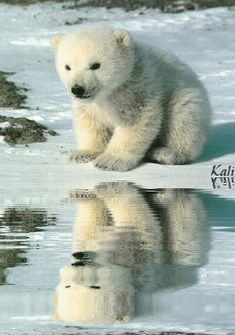 """Who's that bear in my reflection ? Who's that bear in my reflection ? """" Of course you are Georgie . Cute Baby Animals, Animals And Pets, Beautiful Creatures, Animals Beautiful, Baby Polar Bears, Majestic Animals, Tier Fotos, Mundo Animal, Bear Cubs"""