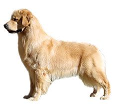 Golden Retriever- The lowest ranking Barkers...