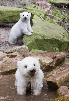 What a cute polar bear cub