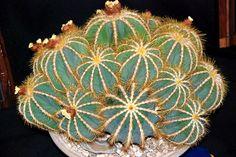 Repeating fractal symmetry - Parodia magnifica by plantmanbuckner
