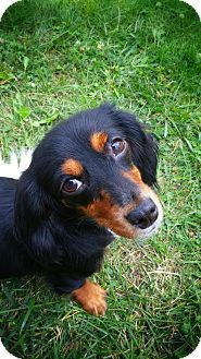 Gordon Setter Rescue Ohio Garfield Heights, OH -...