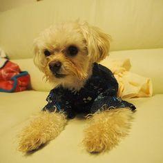 #🐶#チワプー  #チワワ  #トイプードル#chihuahua#小型犬#mix犬#dog#dogs#cute#love#lovely#family#animals#animal #insta#instabeauty#instagood#instalike#instalove#instalovers#instalook#instamood#pic#photo#pretty#instadog#愛犬#愛犬家
