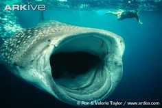 Diving with Whale Sharks in Western Australia.