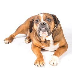 Bulldog dog for Adoption in St. Louis Park, MN. ADN-590244 on PuppyFinder.com Gender: Female. Age: Adult