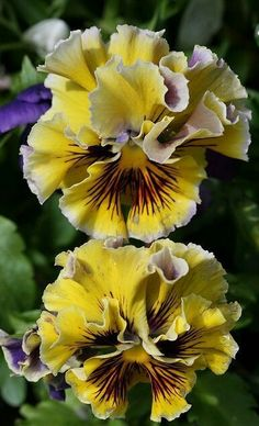 .Pansies - Jim's mom's favorite flower