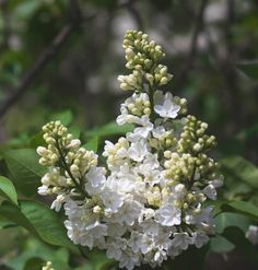 how to grow lilacs in a mild climate- and tips fro growing lilacs anywhere  www.mysoulfulhome.com