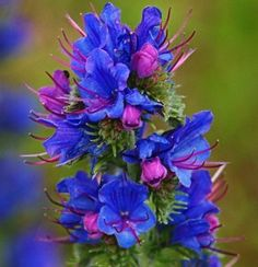 The Health Benefits of Viper's Bugloss Herb