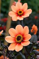Justin Vo love flowers: Dahlia 'Happy Single Date' Flowers Nature, Exotic Flowers, Orange Flowers, Amazing Flowers, Wild Flowers, Beautiful Flowers, Happy Flowers, Exotic Plants, Art Floral Japonais