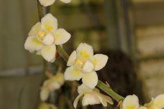 Chiloschista viridiflava - Flickr - Photo Sharing!