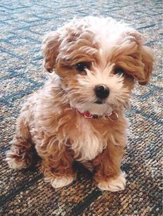 This little guy looks almost exactly like my male maltipoo