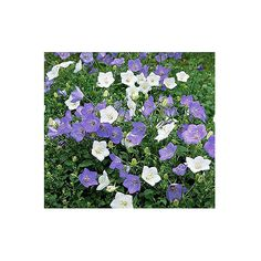 Bellflower Get detailed growing information on this plant and hundreds more in BHG's Plant Encyclopedia.