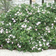 Rosa rugosa Japanese rose