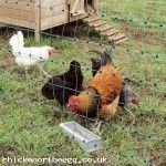 Chicken Electric Fence 50 Meter Net Electrified Poultry Green Netting (Auction ID: 590, End Time : 09 Oct. 2013 13:21:25) - Chicken Or The Egg