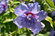 Hibiscus syriacus 'Notwoodthree' Blue Chiffon Rose-of-Sharon in Alfond Children's Garden