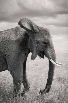眠たげなゾウ(タンザニア)