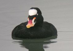 Surf Scoter male