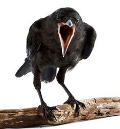 Image result for angry raven cawing