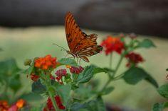 MONARCH BUTTERFLY   PHOTO BY LISSA WARREN