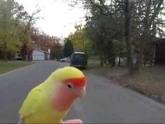 """""""Angry bird"""" the lovebird free flying at 6 months old. Love Birds, Parrot, Animals, Free, Youtube, Parrot Bird, Animales, Animaux, Animal"""