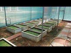 Azolla is a symbiotic superorganism that captures all the nitrogen fertilizer it…