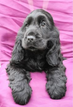 Black cocker spaniel - Hamburger 4 mois