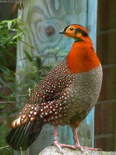 Blyth's tragopan or the grey-bellied tragopan is a pheasant that is a vulnerable species. (Tragopan blythii)