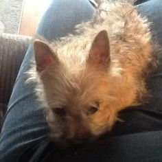 My new baby. 11-16-14. Male Cairn Terrier puppy. He's so busy!!