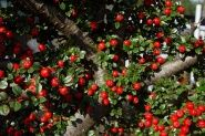The berries from cotoneaster lure birds into the winter garden.
