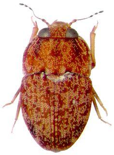 Propalticidae - Pesquisa Google