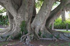 Old banyan tree in a Bradenton, Florida park. Stock Photo