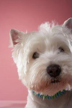 West Highland Terrier, Close-up Photograph