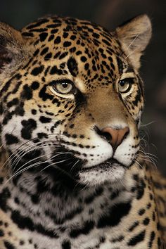 earthlynation: Jaguar by papatheo