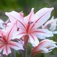 Gladiolus species (Gladiolus miniatus