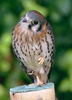 Common Name: AMERICAN KESTREL,  Scientific Name: FALCO SPARVERIUS