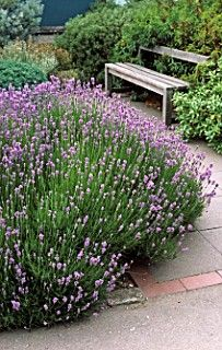 look at that beautiful bed of lavender!!