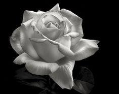 Black And White Flower Portraiture | Shutterbug