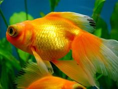 Its study days like today that I miss my goldfish: Stonewall Jackson. I'm just not ready to move on to a new one. (I had to change my watch band to black as a sign of outward mourning). One day I'll get another one (or a dog), but I'm just not ready yet. Ha