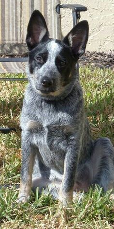 My favorite breed of dog, Blue Heeler. Which we have a female named, Dixie Bell.