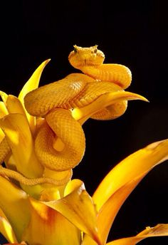Yellow Eyelash Viper | by David Northcott
