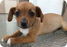 Dachshund/Jack Russell Terrier Mix Puppy for adoption in Santa Ana, California - Manny